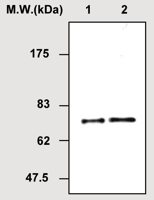 Western blot - Heparin Cofactor II antibody [74E5] (ab51051)