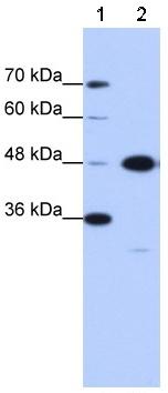 Western blot - GTPBP9 antibody (ab51077)