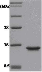 SDS-PAGE - MIF protein (His tag) (ab51096)