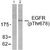 Western blot - EGFR (phospho T678) antibody (ab51116)