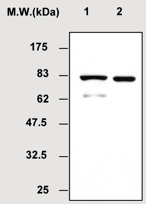 Western blot - MSK2 / RSK-B antibody (ab51131)