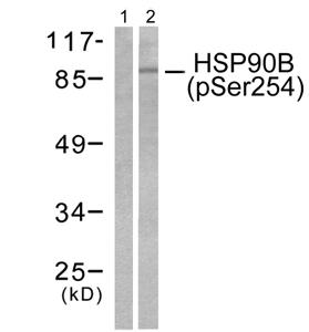 Western blot - Hsp90 (phospho S254) antibody (ab51136)