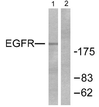 Western blot - EGFR antibody (ab51141)