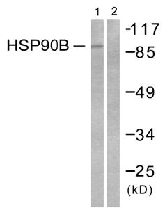 Western blot - Hsp90 beta antibody (ab51145)