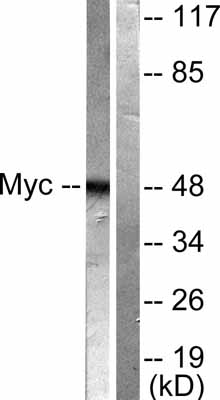 Western blot - c-Myc antibody (ab51154)