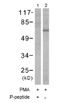 Western blot - PKC (phospho T410) antibody (ab51166)