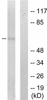 Western blot - SHP1 (phospho Y536) antibody (ab51171)