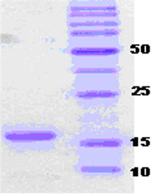 SDS-PAGE - alpha Synuclein protein (ab51183)
