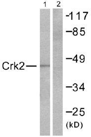 Western blot - CRK isoform II antibody (ab51211)