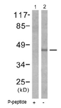 Western blot - CRK isoform II (phospho Y221) antibody (ab51222)