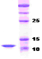 SDS-PAGE - Parathyroid Hormone protein (ab51234)
