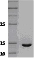 SDS-PAGE - Interferon gamma protein (ab51240)