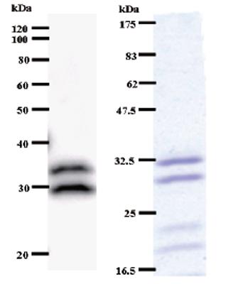 Western blot - C14orf172 antibody [C145I165] (ab51272)