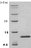 SDS-PAGE - TGF beta 1 protein (ab51281)