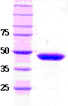 SDS-PAGE - SETD7/ SET7/9 protein (ab51285)