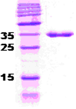 SDS-PAGE - DnaJ protein (ab51305)