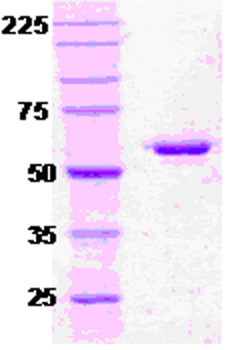 SDS-PAGE - Hsp60 protein (ab51307)