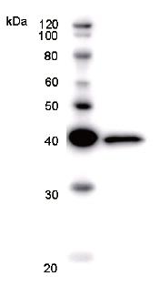 Western blot - PHTF1 antibody [PHTF1R8] (ab51359)
