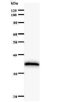 Western blot - PGC1 alpha antibody [PPARAH6] (ab51365)