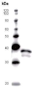 Western blot - Pygopus 2 antibody [PYGAD53A] (ab51367)
