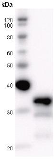 Western blot - Fox2 / RBM9 antibody [RBMAD12A] (ab51370)