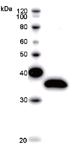 Western blot - HSPA1L antibody [HSPA1LB4D2] (ab51486)
