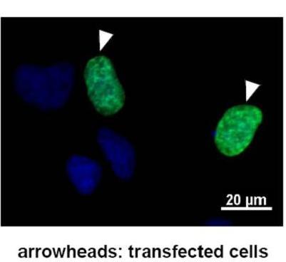 Immunocytochemistry - GTF2IRD1 antibody [GTF5I102] (ab51524)