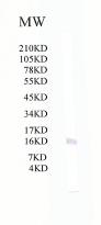 Western blot - Tryptophan rich protein antibody (ab51550)