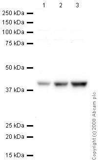 Western blot - TATA binding protein TBP antibody [mAbcam 51841] - Nuclear Loading Control and ChIP Grade (ab51841)