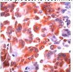 Immunohistochemistry (Formalin/PFA-fixed paraffin-embedded sections) - COX1 / Cyclooxygenase 1 antibody (ab52037)