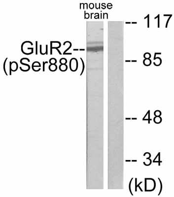 Western blot - GluR2  (phospho S880) antibody (ab52180)