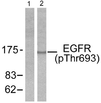 Western blot - EGFR (phospho T693) antibody (ab52186)