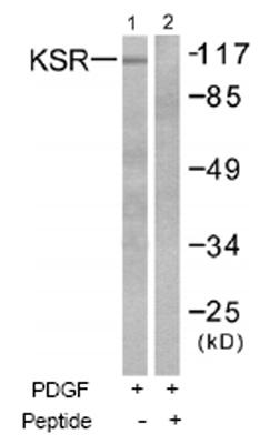 Western blot - KSR antibody (ab52196)