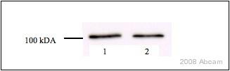 - alpha 1 Catenin antibody (ab52227)