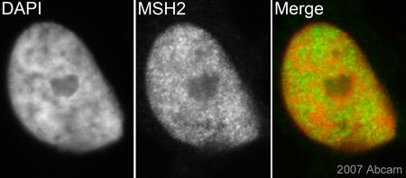 Immunocytochemistry/ Immunofluorescence - MSH2 antibody [3A2B8C] (ab52266)