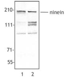 Western blot - Ninein antibody (ab52473)
