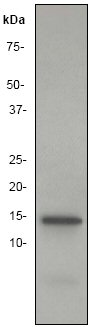 Western blot - Histone H2B antibody [EP957Y] (ab52599)