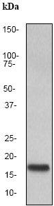 Western blot - SCF antibody [EP665Y] (ab52603)