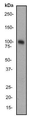 Western blot - Dynamin 1 antibody [EP801Y] (ab52611)