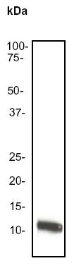 Western blot - IL8 antibody [EP117Y] (ab52612)