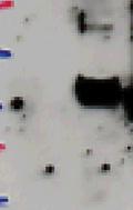 Western blot - Desmuslin antibody (ab52666)