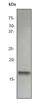 Western blot - Interferon gamma antibody [EP1109Y] (ab52746)