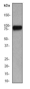 Western blot - HSF1 antibody [EP1710Y] (ab52757)