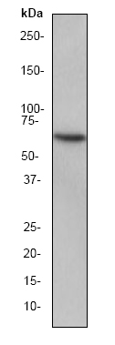 Western blot - HSF2 antibody [EPR1715Y] (ab52758)