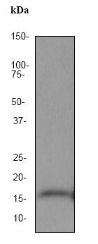 Western blot - MAP1LC3A antibody [EP1983Y] (ab52768)