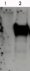 Western blot - PCNA antibody (ab52820)
