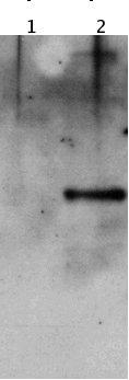 Western blot - Hsp27 antibody (ab52839)