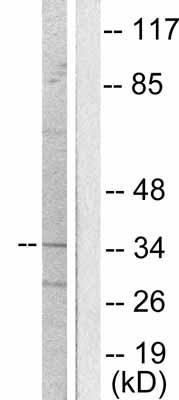 Western blot - Anti-Oct4 antibody (ab53028)