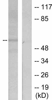 Western blot - CCNL1 antibody (ab53045)