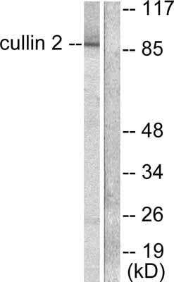 Western blot - Cullin 2 antibody (ab53052)
